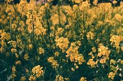 Mustard on Mustard #35mm (Marisa Sanders Photography) Tags: shootfilm filmsnotdead filmsalive yellow mustardweeds mustard fujifilm minolta 35mmfilm 35mm film