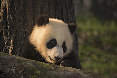 China (richard.mcmanus.) Tags: china panda giantpanda chengdu mammal animal wildlife mcmanus