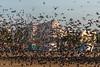 Marina (Velachery Balu) Tags: marina beach chennai marinabeach dawn birds birdsinflight pigeonsinflight vivekanandahouse