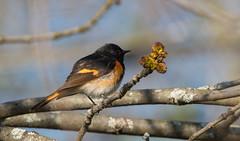 A Bit Shy (Alexandre Légaré) Tags: parulineflamboyante americanredstart setophagaruticilla paruline bird oiseau animal wildlife nature
