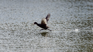 Coot running on the lake (3/5)