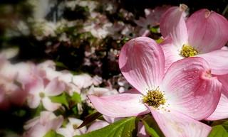 Clématite montana rose