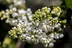 In the Lilac garden (o.shenko) Tags: moscow lilac garden flowers aromas