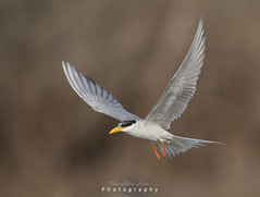 The River tern (T@hir'S Photography) Tags: adolescence animal animalbodypart animaleye animalhead animalmarkings animalnest animalwildlife animalshunting animalsinthewild artscultureandentertainment fishing beak beautyinnature bird flying courage cute feather femaleanimal fineartportrait grayhair gulfofmexico maleanimal nature nopeople outdoors pakistan pattern photography red river riverternbird rockobject rockmusic seabird seagull small songbird springflowingwater tern whitecolor wingsinmotion wings splash drops water
