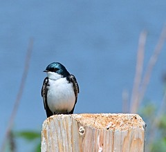 Tree Swallow (Pat's Pics36) Tags: nikond700 nikkor18to200mmvrlens canada britishcolumbia bc abbotsford willbandcreekpark swallow treeswallow tachycinetabicolor