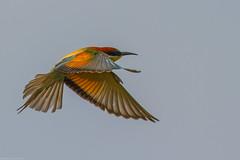 20mai18_10_prigorii prundu 10 (Valentin Groza) Tags: prigorie prigorii bee eater merops apiaster romania summer bird flight bif birdwatching outdoor
