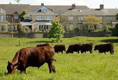 Cows on Midsummer Common (James Bowe) Tags: 2018 midsummercommon cambridge cows plants grass trees horsechestnut aesculushippocastanum