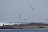 IMG_8903 (armadil) Tags: mavericks beach beaches californiabeaches bird birds gull gulls