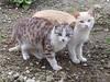 """Мы с Тамарой ходим парой"" (SerenitySS) Tags: котята kittens кошки cats животные animals фауна fauna млекопитающие mammals"
