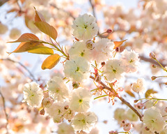 Sakura Flowers (Rackelh) Tags: bright flower flowers light bokeh nature spring ontario canada