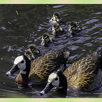 White Faced Whistling Ducks And Ducklings thumbnail