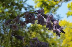 2018_05_0439 (petermit2) Tags: hodsockpriory hodsock priory blyth nottinghamshire bluebells bluebell garden gardens
