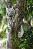 Bengal White Tiger Cub - Zoo Amneville (Mandenno photography) Tags: animal animals bigcat big cat bengal white whitetiger tiger tijger tt tigercub cub cubs zoo zooamneville amneville france frankrijk