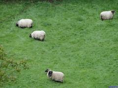 Amaiur (santiagolopezpastor) Tags: espagne españa spain navarra amaya baztán valledelbaztán ovejas sheeps sheep oveja
