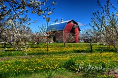 Cherry Blossoms (Tom Mortenson) Tags: cherrytrees orchard cherryblossoms wisconsin fishcreek doorcounty fruittrees barn digital canon canon6d canoneos landscape colorful springtime may trees usa america northamerica hdr 1740l scenic geotagged doorcountywisconsin midwest farm