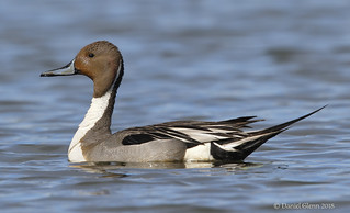 Northern Pintail ♂