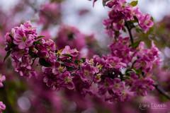 Rosebuds - my favourite type of trees Notre-Dame-de-Lourdes, MB #exploremb #explorecanada #rosebuds #yourmanitoba #joiedevivre (ArianeEli) Tags: exploremb yourmanitoba rosebuds joiedevivre explorecanada