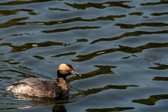 2017 Horned Grebe 2 (DrLensCap) Tags: south pond nature boardwalk at lincoln park zoo chicago illinois horned grebe il bird duck robert kramer