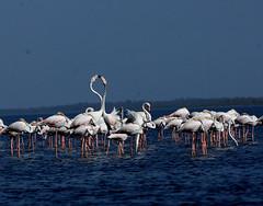 DSC_0371 (rajashekarhk) Tags: f flamingos sky southindia beauty blue birds birdphotography birdlife love lovemaking breedingsession andhrapradesh nikon nature naturephotography rajashekar hkr migratarybirds