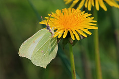 Brimstone Butterfly (Karen Roe) Tags: ryemeads naturereserve nature reserve hertfordshire county england britain uk unitedkingdom greatbritain gb canoneos760d canon 760d 150600mm sigma zoom contemporary wildlife april 2018 peaceful quiet tranquil outside spring weather season camera photography photograph photographer picture image snap shot photo karenroe female flickr visit visitor rspb royal society protection birds member brimstone butterflu dandelion