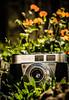 Vintage.. (EYeardley) Tags: vintage camera old 60s kodak kodakretinette1a vintagecamera flowers floral bokeh inthegarden nikon nikond3300 50mm 365 365challenge day116 filmcamera