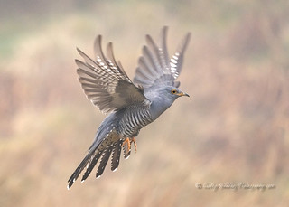 Cuckoo, (2)