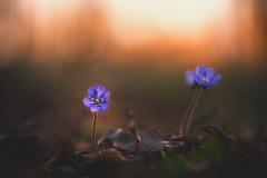 Melody's (--StadtKind--) Tags: kempten stadtkind sonyfe90mmf28macrogoss sonyilce7m2 macrophotography macro naturephotography nature flores fleur flower frühling spring depthoffield doflicious dof bokehlicious bokehaddicts bokehmasters bokeh