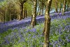 Emmetts Bluebells (Adam Swaine) Tags: emmetts emmettsgdns bluebells wildflowers woodland woodlandfloor nationaltrust nature naturelovers trees flora flowers spring springinkent uk ukcounties counties countryside kent kentweald britain british seasons walks