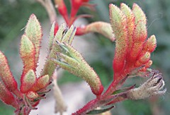 Kangaroo Paws! ('cosmicgirl1960' NEW CANON CAMERA) Tags: flowers worldflowers kangaroopaws colourful nature parks gardens edenproject cornwall yabbadabbadoo