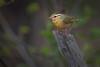 a Worm-eating Warbler (PhillymanPete) Tags: songbird helmitherosvermivorum wildlife forest bird wormeatingwarbler migration warbler perch nature clayton newjersey unitedstates us nikon d500