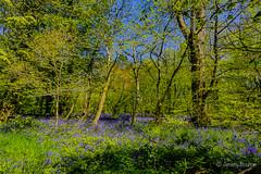 Bluebells (JKmedia) Tags: spring may 2018 cornwall lanhydrock nationaltrust boultonphotography bluebells blue green sunny warm