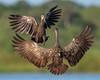 Kerfuffle (PeterBrannon) Tags: aramusguarauna bird fighting florida habitat limpkin nature wildlife boxing battle wings