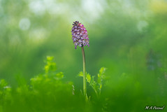 Orchis purpurea. (mianpascual) Tags: orestor meyer optik gorlitz 135mm f 28 orquidea orchis purpurea
