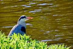 Grey heron (jamescastle) Tags: delft netherlands bird avian pelecaniformes ardeidae chordate wildlife animal europe urbanwildlife zuidholland