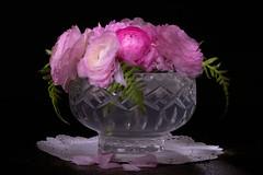 Ranunculus - light painting (Debs J photos) Tags: ranunculus ferns floral flowers stilllife longexposure torchlight canon 70200mm pink
