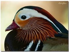 Mandarin Duck (Betty Vlasiu) Tags: mandarin duck aix galericulata bird nature