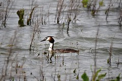 Great Crested Grebe (Bazza3000) Tags: podicepscristatus greatcrestedgrebe abberton
