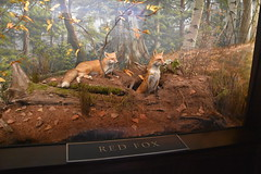 Red Foxes (Adventurer Dustin Holmes) Tags: 2018 wondersofwildlife animal animals fox foxes redfox redfoxes museum taxidermy exhibit