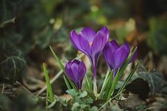 Herald of Spring (preze) Tags: spring frühling springtime krokus crocus flower pflanze plant blüte blossom flora blütenblätter petals blume frühlingsboten