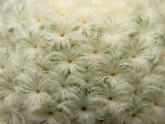 It's feathery and fluffy...can you guess what it is? (theSnoopyG - thanks for over 1/2 million views!) Tags: succulove succulent plant cactaceae mammillaria mammillariaplumosa feathery soft fluffy macro green environment mexico flora botanicgarden pianta piantegrasse piantagrassa cactus exotic nature