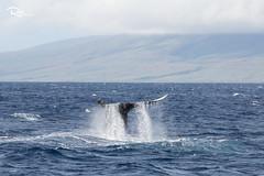 Whale Watching in Maui, Hawaii (Ren Photography) Tags: lahaina hawaii unitedstates us