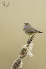 blauwborst-21082 (Sjors loomans) Tags: nature natuur bird birds natuurfotografie outdoor vogel wildlife sjors loomans holland blauwborst bluethroat luscinia svecia songbird