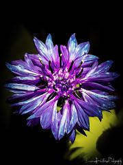 flowers (luca_foletto) Tags: fiori flowers blu nature color summer purple