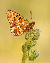 Pearl-bordered Fritillary Boloria euphrosyne (Iain Leach) Tags: wildlifephotography photograph image wildlife nature iainhleach wwwiainleachphotographycom canon canoncameras photography macro macrophotography closeup butterfly moth lepidoptera insect invertebrate pearlborderedfritillaryboloriaeuphrosyne