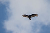 7K8A5177 (rpealit) Tags: scenery wildlife nature hamburg mountain management area turkey vulture bird