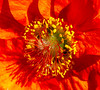 bright orange and yellow (chapdav) Tags: orange yellow bellefleur cannon zeiss fantastic flower