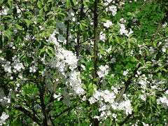 Apple tree (cloversun19) Tags: tree apple appletree appleflower flower macro wood trees branch branches green white spring may sun morning blossom springimage garden bright flowers grass summer love story pink warm romantic beauty glory happy positive blooming blossoming bloom flowering june picture flowerimages image red summerimage butterfly