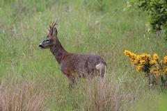 stag with 4 does (anthhurson) Tags: stag buck wildlife ukwildlife nature ponteland antelars natgeowild forest grazing wildlifephotography canon sigma canonphotography britishwildlife woodland deer