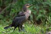 Cormorant (Kevin James54) Tags: cormorant doubecrestedcormorant nikond850 phalacrocoraxauritus tamron150600mm wilmington animals avian bird kevingianniniphotocom