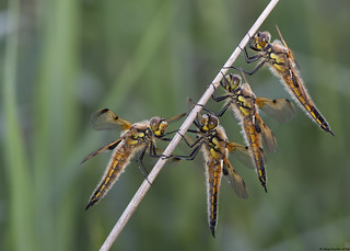 Four-spotted chaser : Libellula quadrimaculata